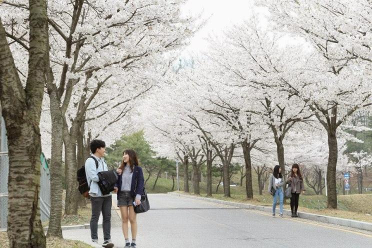 Hoa anh đào ở Đại Học Korea