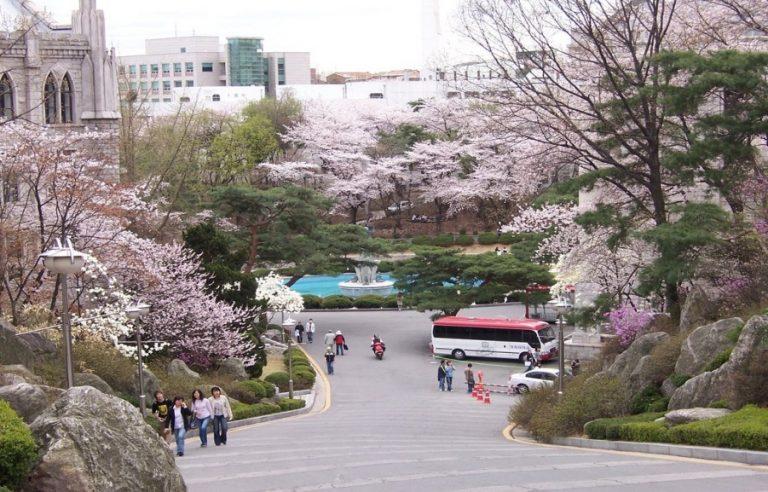 Hoa anh đào nở rộ ở đại học Kyunghee