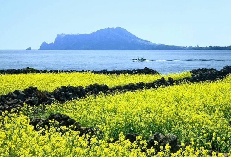 Một góc hoa ở đảo Cheongsan