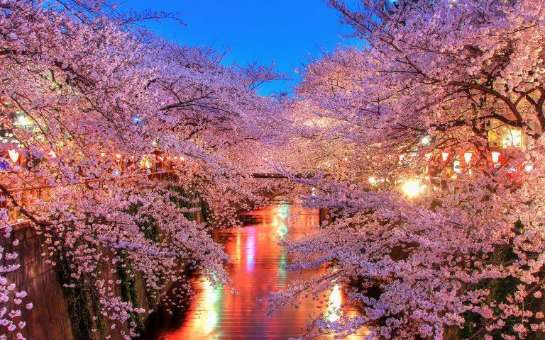 Ngắm hoa anh đào ở Hàn vào tháng 03